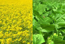 research-on-mustard-and-urad